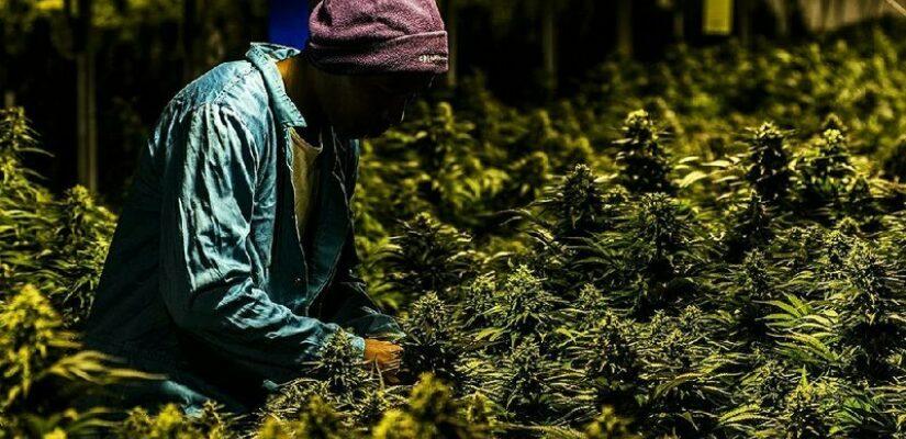 Africacannabis