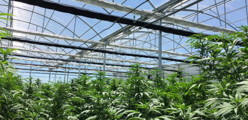 Almeriacannabis