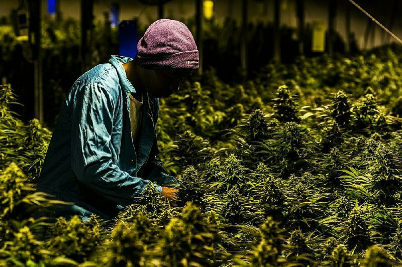 African Countries are Cashing in on Cannabis