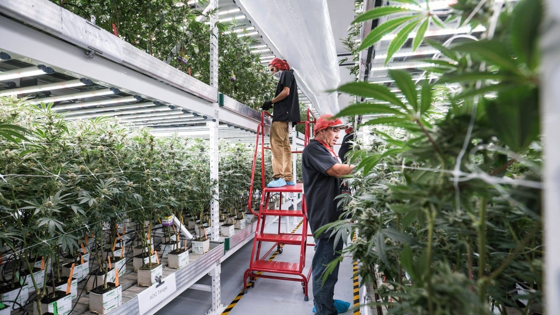 How To Grow Cannabis Vertically